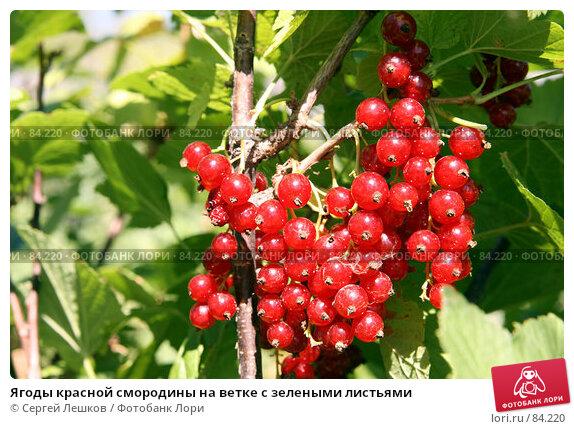 Купить «Ягоды красной смородины на ветке с зелеными листьями», фото № 84220, снято 22 июля 2007 г. (c) Сергей Лешков / Фотобанк Лори