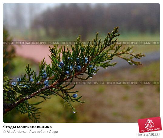 Купить «Ягоды можжевельника», фото № 85664, снято 25 ноября 2006 г. (c) Alla Andersen / Фотобанк Лори