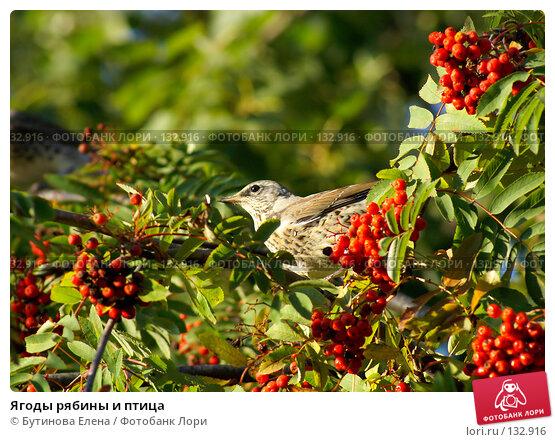 Купить «Ягоды рябины и птица», фото № 132916, снято 24 сентября 2007 г. (c) Бутинова Елена / Фотобанк Лори