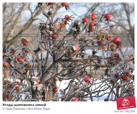 Купить «Ягоды шиповника зимой», фото № 182276, снято 5 января 2008 г. (c) Лада Иванова / Фотобанк Лори