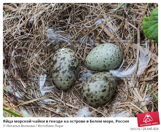Купить «Яйца морской чайки в гнезде на острове в Белом море, Россия», фото № 28646424, снято 17 июня 2018 г. (c) Наталья Волкова / Фотобанк Лори