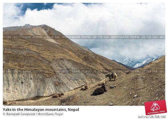 Купить «Yaks in the Himalayan mountains, Nepal», фото № 28728144, снято 6 апреля 2018 г. (c) Валерий Смирнов / Фотобанк Лори