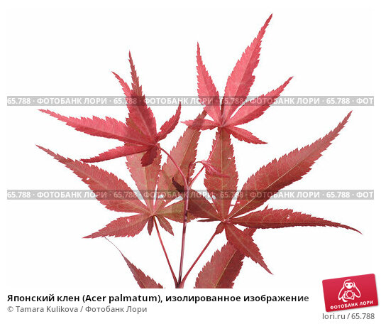 Японский клен (Acer palmatum), изолированное изображение, фото № 65788, снято 27 июля 2007 г. (c) Tamara Kulikova / Фотобанк Лори