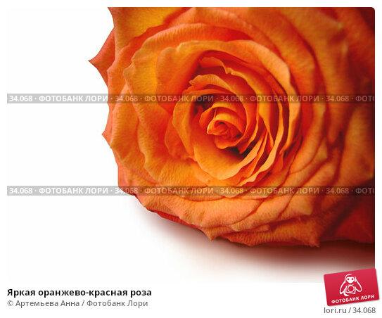 Яркая оранжево-красная роза, фото № 34068, снято 8 января 2006 г. (c) Артемьева Анна / Фотобанк Лори