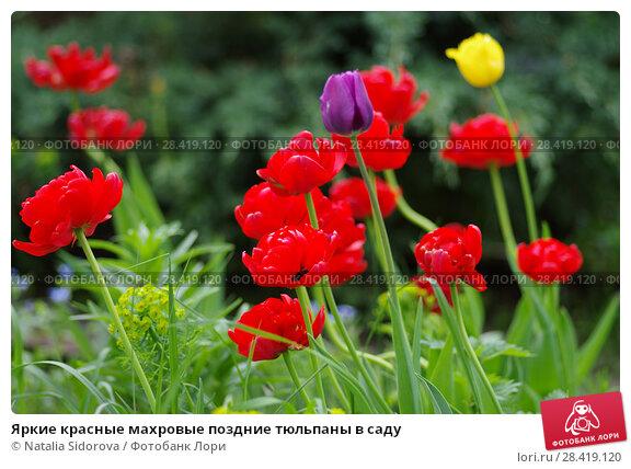 Купить «Яркие красные махровые поздние тюльпаны в саду», фото № 28419120, снято 12 мая 2018 г. (c) Natalya Sidorova / Фотобанк Лори