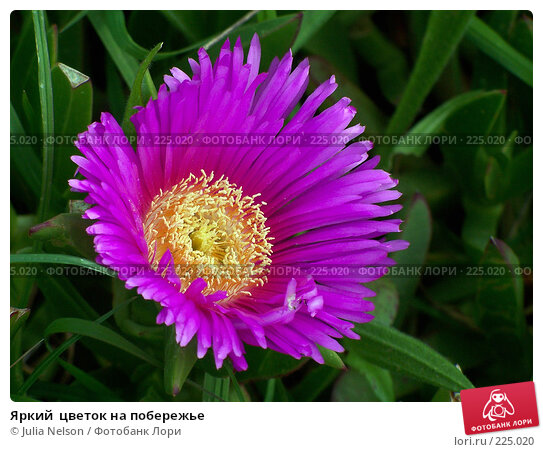 Купить «Яркий  цветок на побережье», фото № 225020, снято 4 марта 2007 г. (c) Julia Nelson / Фотобанк Лори