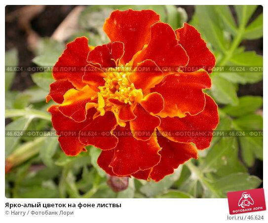 Купить «Ярко-алый цветок на фоне листвы», фото № 46624, снято 12 мая 2007 г. (c) Harry / Фотобанк Лори