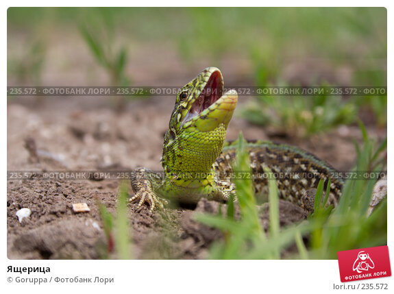 Ящерица, фото № 235572, снято 6 мая 2007 г. (c) Goruppa / Фотобанк Лори
