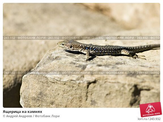 Купить «Ящерица на камнях», фото № 243932, снято 14 сентября 2006 г. (c) Андрей Андреев / Фотобанк Лори