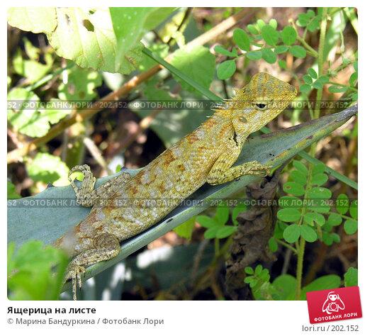 Ящерица на листе, фото № 202152, снято 17 октября 2004 г. (c) Марина Бандуркина / Фотобанк Лори