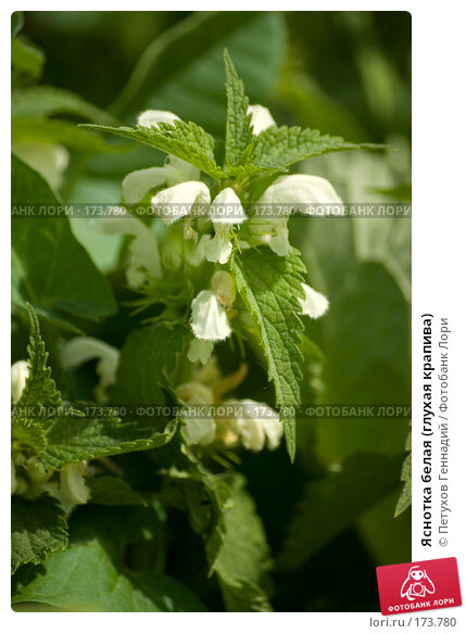 Яснотка белая (глухая крапива), фото № 173780, снято 29 мая 2007 г. (c) Петухов Геннадий / Фотобанк Лори