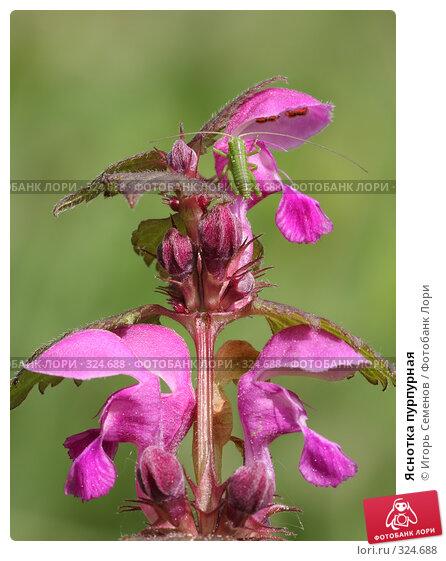 Яснотка пурпурная, фото № 324688, снято 10 мая 2008 г. (c) Игорь Семенов / Фотобанк Лори
