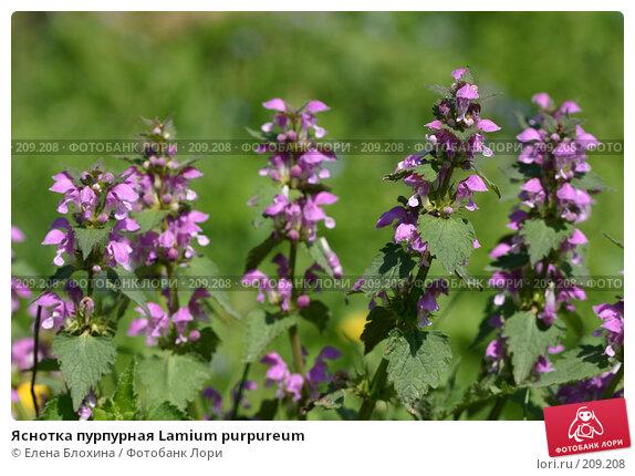 Купить «Яснотка пурпурная Lamium purpureum», фото № 209208, снято 20 мая 2007 г. (c) Елена Блохина / Фотобанк Лори