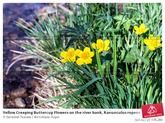 Купить «Yellow Creeping Buttercup Flowers on the river bank, Ranunculus repens», фото № 27178280, снято 21 мая 2016 г. (c) Евгений Ткачёв / Фотобанк Лори
