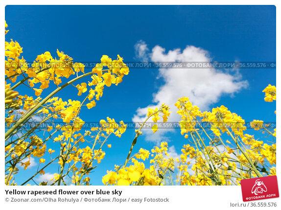 Yellow rapeseed flower over blue sky. Стоковое фото, фотограф Zoonar.com/Olha Rohulya / easy Fotostock / Фотобанк Лори