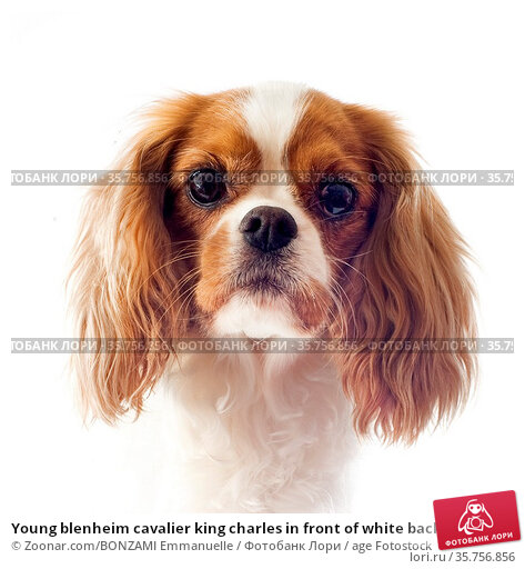 Young blenheim cavalier king charles in front of white background. Стоковое фото, фотограф Zoonar.com/BONZAMI Emmanuelle / age Fotostock / Фотобанк Лори