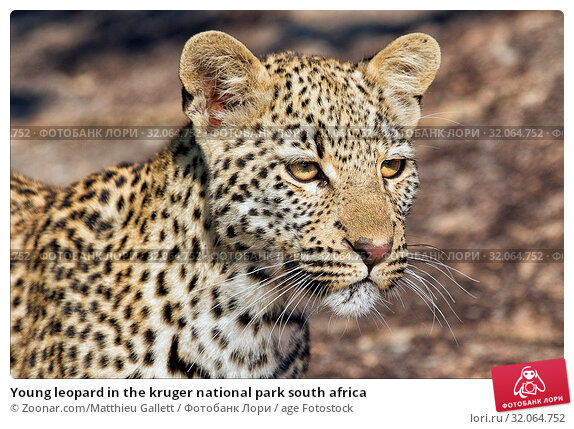 Young leopard in the kruger national park south africa. Стоковое фото, фотограф Zoonar.com/Matthieu Gallett / age Fotostock / Фотобанк Лори