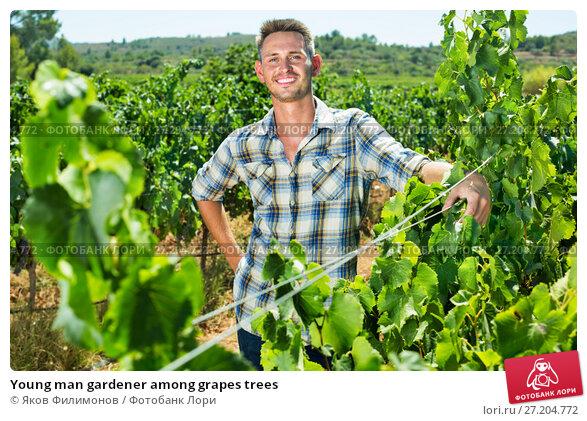 Купить «Young man gardener among grapes trees», фото № 27204772, снято 20 ноября 2017 г. (c) Яков Филимонов / Фотобанк Лори