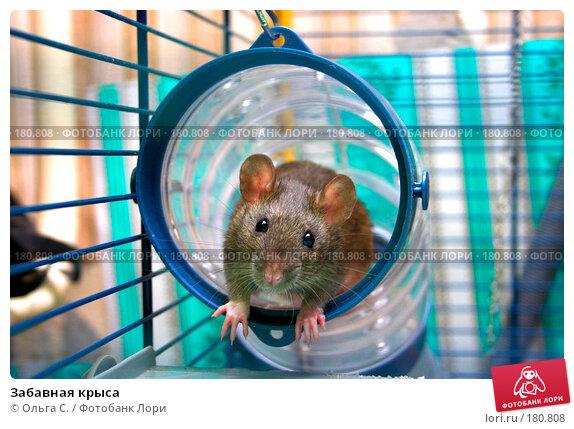 Забавная крыса, фото № 180808, снято 25 октября 2016 г. (c) Ольга С. / Фотобанк Лори