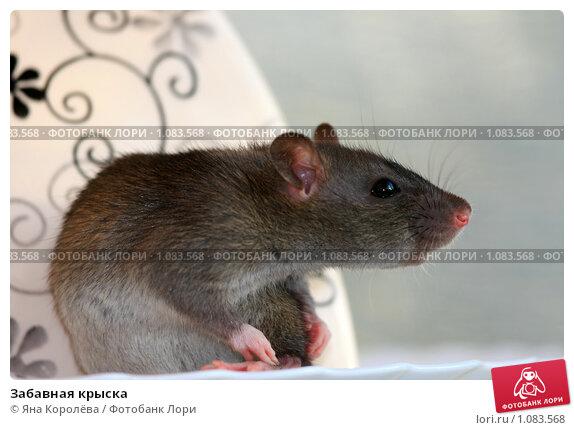 Купить «Забавная крыска», фото № 1083568, снято 10 сентября 2009 г. (c) Яна Королёва / Фотобанк Лори