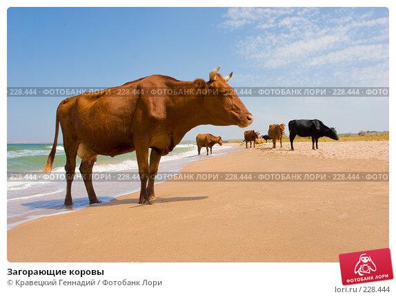 Загорающие коровы, фото № 228444, снято 16 августа 2005 г. (c) Кравецкий Геннадий / Фотобанк Лори