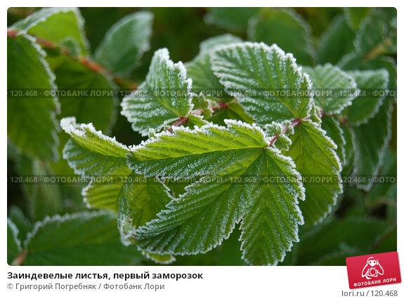 Купить «Заиндевелые листья, первый заморозок», фото № 120468, снято 22 сентября 2007 г. (c) Григорий Погребняк / Фотобанк Лори