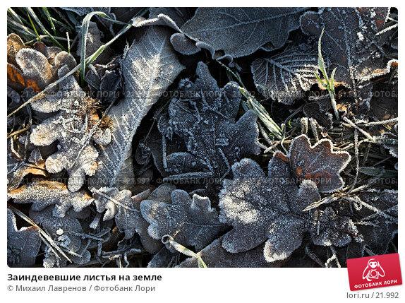 Купить «Заиндевевшие листья на земле», фото № 21992, снято 15 января 2006 г. (c) Михаил Лавренов / Фотобанк Лори