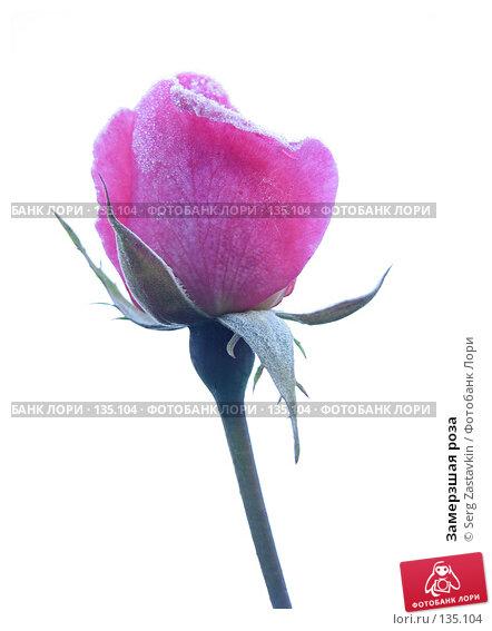 Купить «Замерзшая роза», фото № 135104, снято 15 сентября 2005 г. (c) Serg Zastavkin / Фотобанк Лори