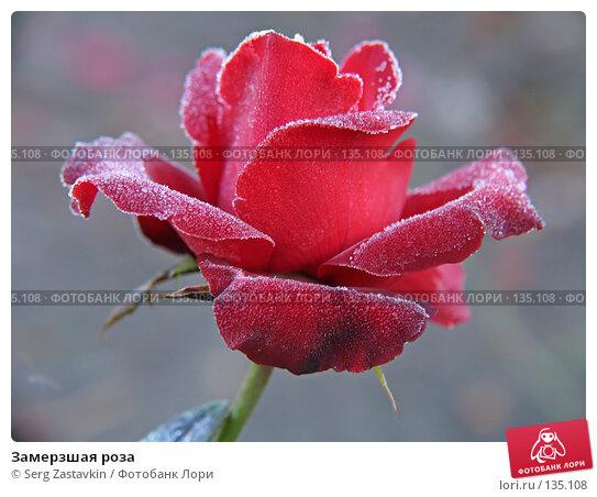 Купить «Замерзшая роза», фото № 135108, снято 15 сентября 2005 г. (c) Serg Zastavkin / Фотобанк Лори