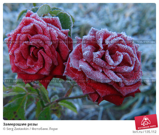 Замерзшие розы, фото № 135112, снято 15 сентября 2005 г. (c) Serg Zastavkin / Фотобанк Лори