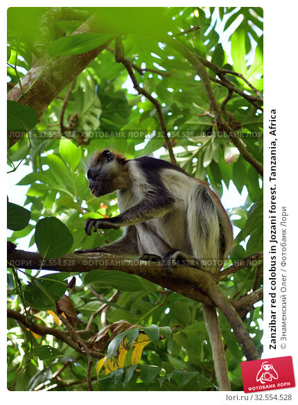 Купить «Zanzibar red colobus in Jozani forest. Tanzania, Africa», фото № 32554528, снято 6 октября 2019 г. (c) Знаменский Олег / Фотобанк Лори