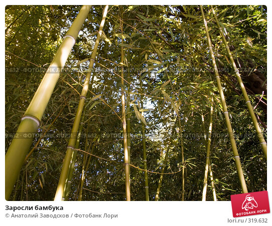 Заросли бамбука, фото № 319632, снято 27 сентября 2007 г. (c) Анатолий Заводсков / Фотобанк Лори
