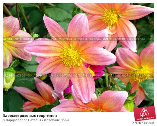 Заросли розовых георгинов, фото № 143044, снято 2 сентября 2007 г. (c) Кардаполова Наталья / Фотобанк Лори