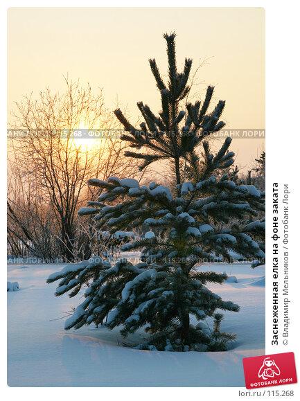 Купить «Заснеженная елка на фоне заката», фото № 115268, снято 30 ноября 2004 г. (c) Владимир Мельников / Фотобанк Лори