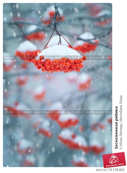Купить «Заснеженная рябина», фото № 15118952, снято 1 октября 2015 г. (c) Икан Леонид / Фотобанк Лори