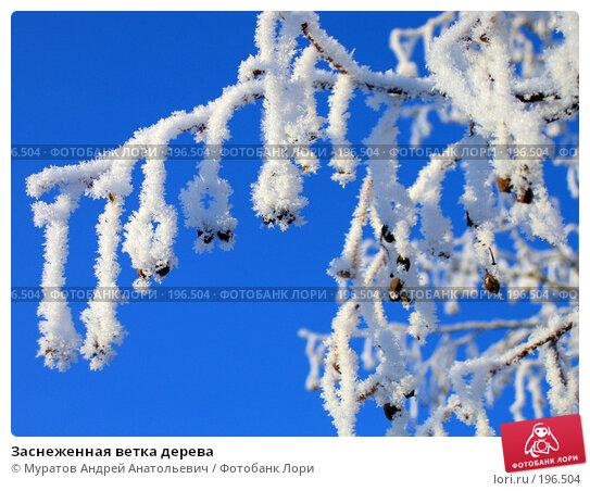 Заснеженная ветка дерева, фото № 196504, снято 8 января 2008 г. (c) Муратов Андрей Анатольевич / Фотобанк Лори