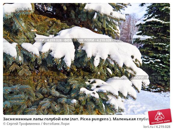 Купить «Заснеженные лапы голубой ели (лат. Picea pungens ). Маленькая глубина резкости», фото № 4219028, снято 19 января 2013 г. (c) Сергей Трофименко / Фотобанк Лори