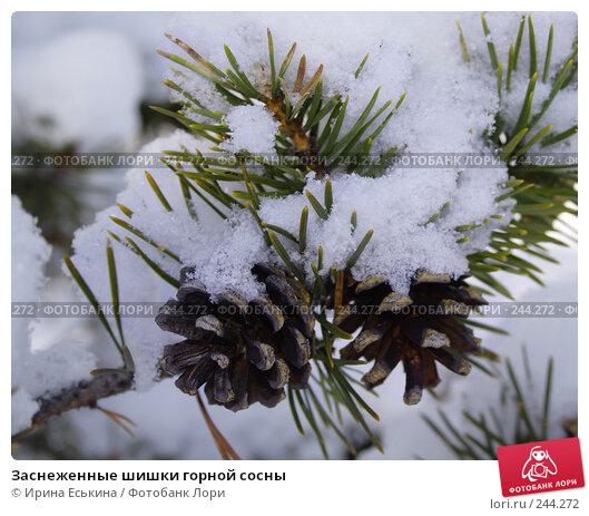 Заснеженные шишки горной сосны, фото № 244272, снято 22 марта 2008 г. (c) Ирина Еськина / Фотобанк Лори