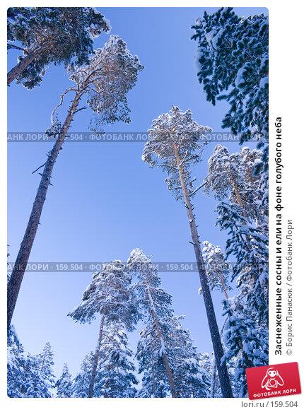 Заснеженные сосны и ели на фоне голубого неба, фото № 159504, снято 15 декабря 2007 г. (c) Борис Панасюк / Фотобанк Лори