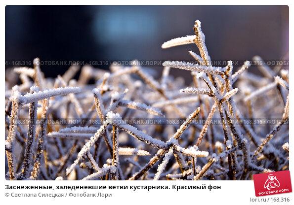 Заснеженные, заледеневшие ветви кустарника. Красивый фон, фото № 168316, снято 8 января 2008 г. (c) Светлана Силецкая / Фотобанк Лори