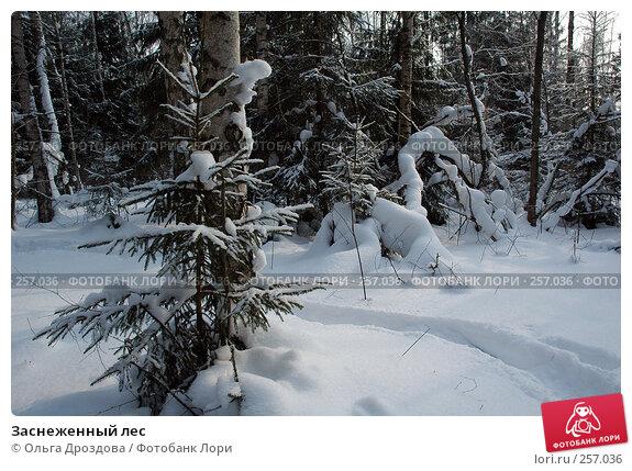 Заснеженный лес, фото № 257036, снято 3 марта 2006 г. (c) Ольга Дроздова / Фотобанк Лори