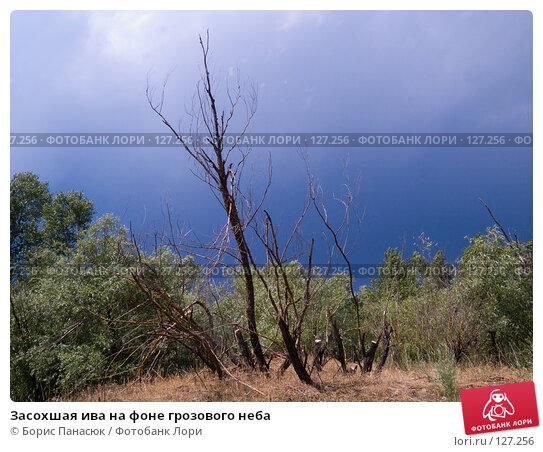 Купить «Засохшая ива на фоне грозового неба», фото № 127256, снято 25 мая 2007 г. (c) Борис Панасюк / Фотобанк Лори