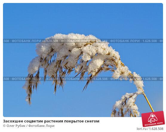 Купить «Засохшее соцветие растения покрытое снегом», фото № 1628508, снято 20 ноября 2009 г. (c) Олег Рубик / Фотобанк Лори