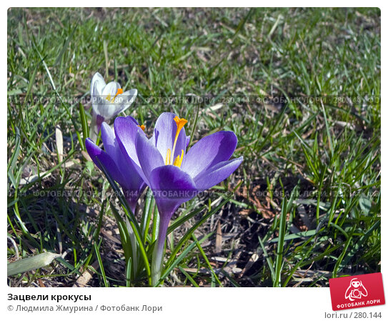 Купить «Зацвели крокусы», фото № 280144, снято 20 марта 2008 г. (c) Людмила Жмурина / Фотобанк Лори
