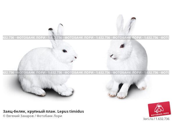 Купить «Заяц-беляк, крупный план. Lepus timidus», фото № 1632736, снято 3 апреля 2010 г. (c) Евгений Захаров / Фотобанк Лори