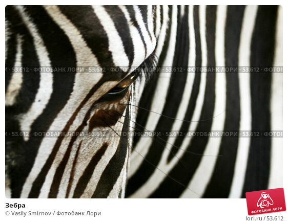 Зебра, фото № 53612, снято 24 мая 2017 г. (c) Vasily Smirnov / Фотобанк Лори