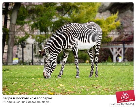 Купить «Зебра в московском зоопарке», фото № 29224064, снято 24 ноября 2014 г. (c) Галина Савина / Фотобанк Лори