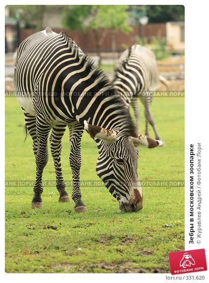 Зебры в московском зоопарке, эксклюзивное фото № 331620, снято 18 июня 2008 г. (c) Журавлев Андрей / Фотобанк Лори