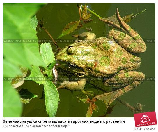 Зеленая лягушка спрятавшаяся в зарослях водных растений, эксклюзивное фото № 65836, снято 16 января 2017 г. (c) Александр Тараканов / Фотобанк Лори