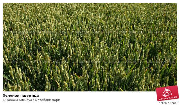 Зеленая пшеница, фото № 4900, снято 24 июня 2006 г. (c) Tamara Kulikova / Фотобанк Лори
